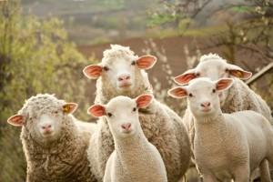 Вівчарні